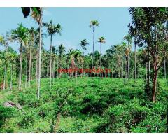 82 cent farm land with areca trees for sale at Old Vythiri , wayanad