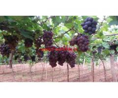 1.67 Acre Grape Farm with Farm House for sale at Vadipatti