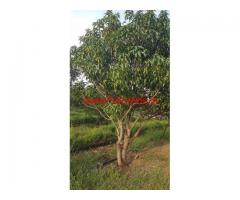 8 acres Mango Garden Land for Sale Near Tandur.