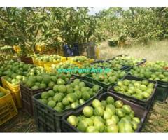 5 Acres Lemon,Guava Farm for Sale near Theni