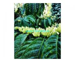 70 Acre Coffee Estate for Sale Near Chikkamagalur