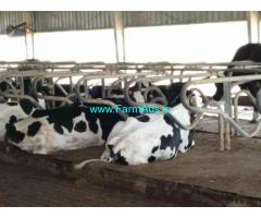 127 Acres Dairy farm Sale at Eadulur village