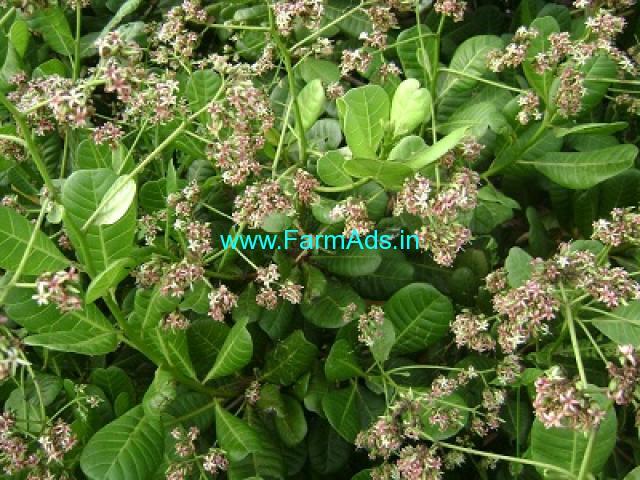 100 Acres Cashew Plantation For Sale Near Dhodamarg , Bedsey area
