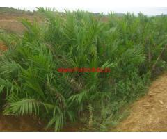 111 Acres Palm Oil Plantation for sale in Rolugunta - Visakapatnam