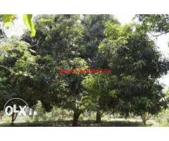 Fertile red soil land for urgent sale at Trichendur