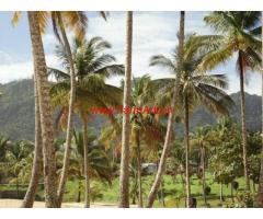 6.5 Acres Coconut farm for sale near Ujire