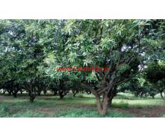 4 Acres Mango Farm for sale at Kothapalli - Wardhannapet - Warangal