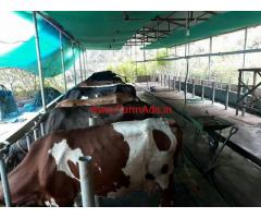 1 acre 84 cent cow farm for sale at muvattupuzha - Kothamangalam